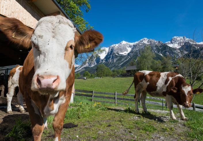 Ferien am Bio Bauernhof Bacherhof in Ramsau am Dachtein