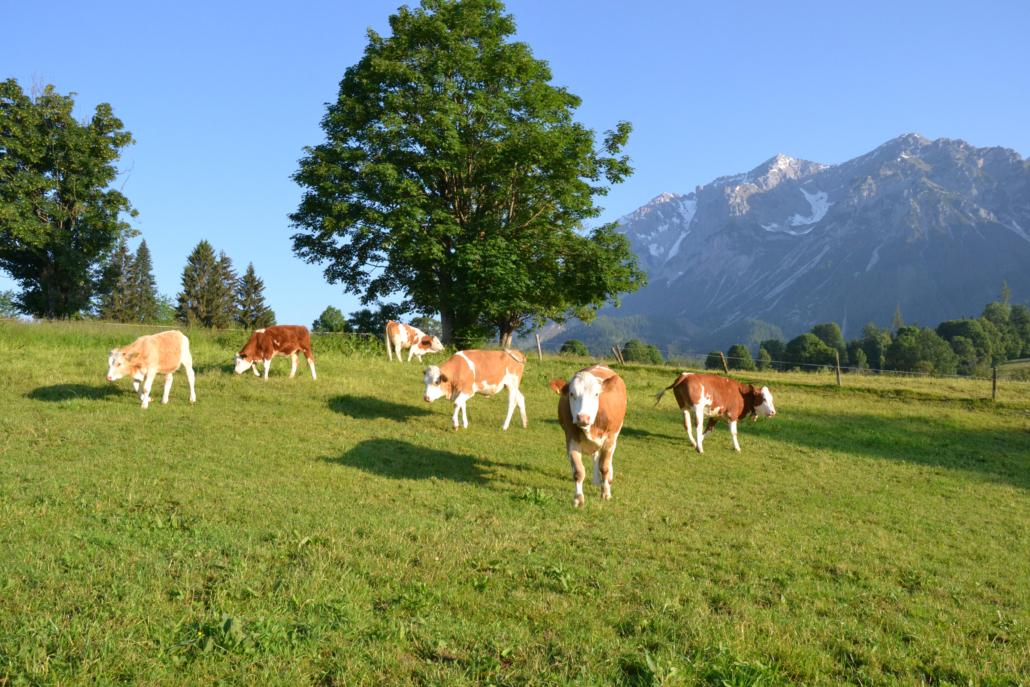 Unsere Kühe auf den saftigen Weiden, Bacherhof