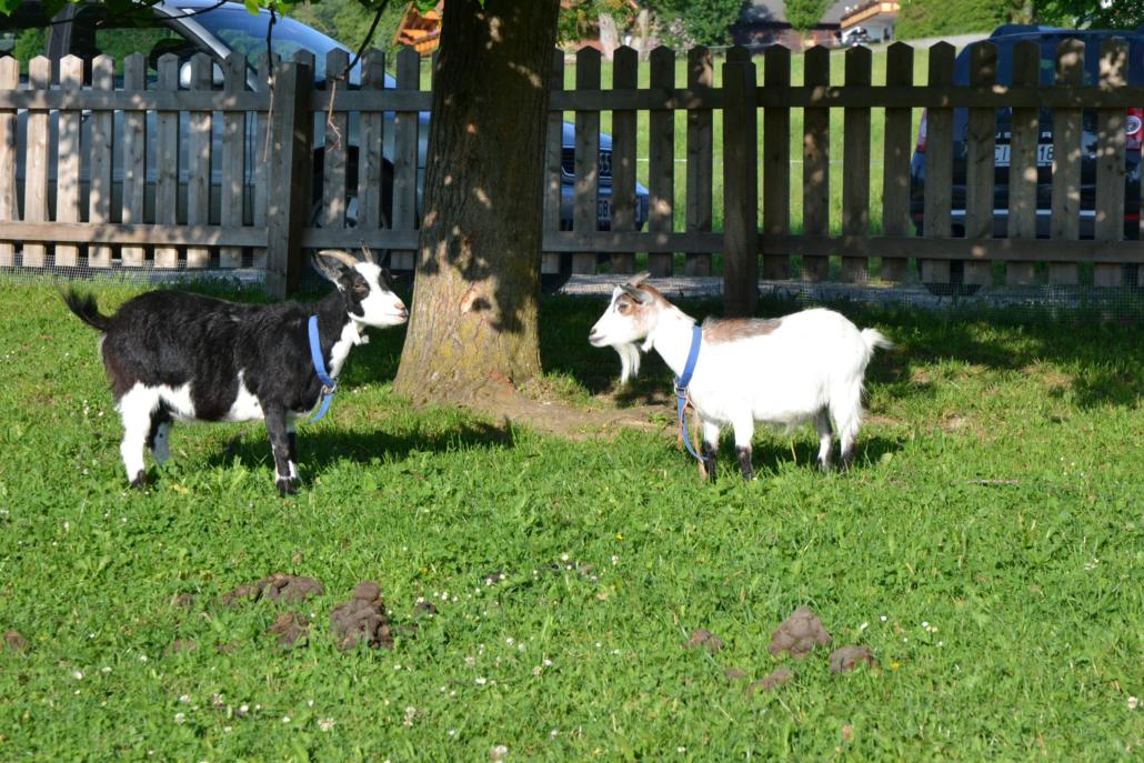 Ziegen im Garten, Bacherhof