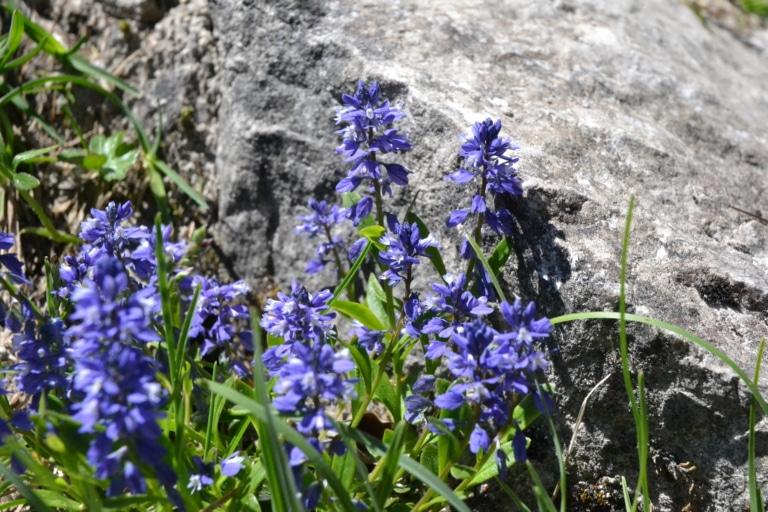 Alpenblumen Silberkarklamm