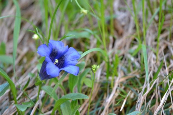 Alpenblume Enzian-Silberkar