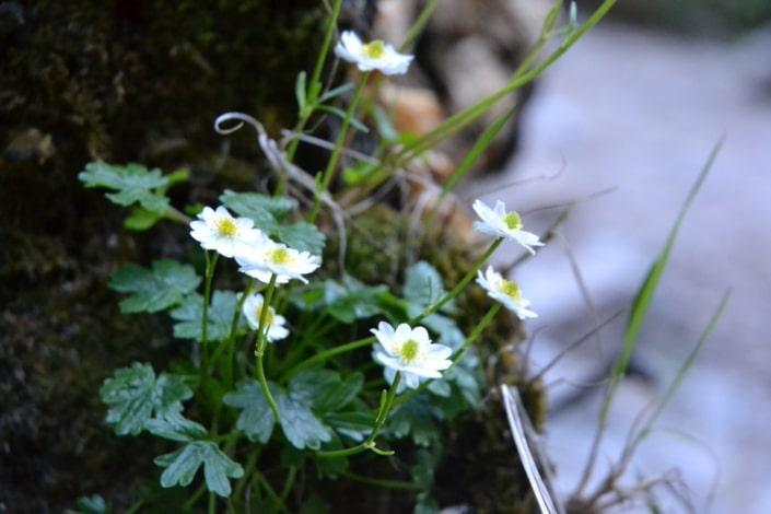 bunte Vielfalt an Alpenblumen im Frühjahr und Sommer-Silberkar